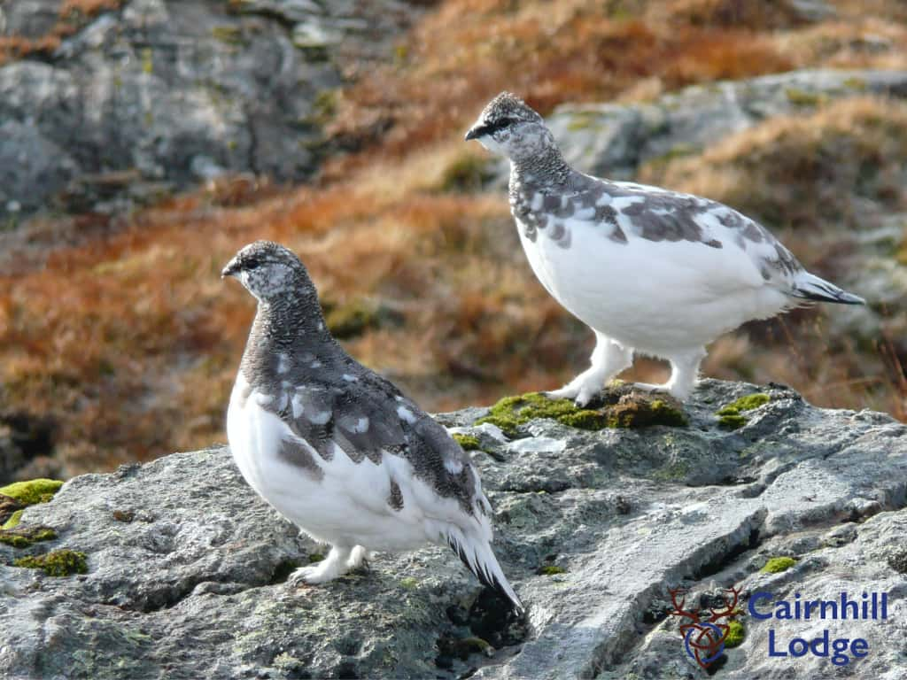 Ptarmigan birds changing from their winter to summer coats
