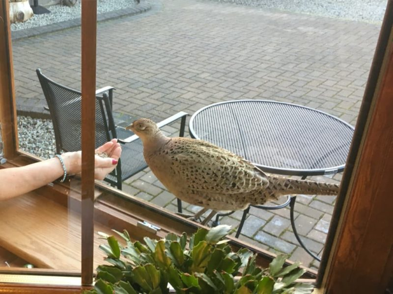 Female pheasant being hand fed on window sill