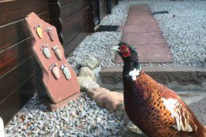 Hawkins the pheasant at the lodge door