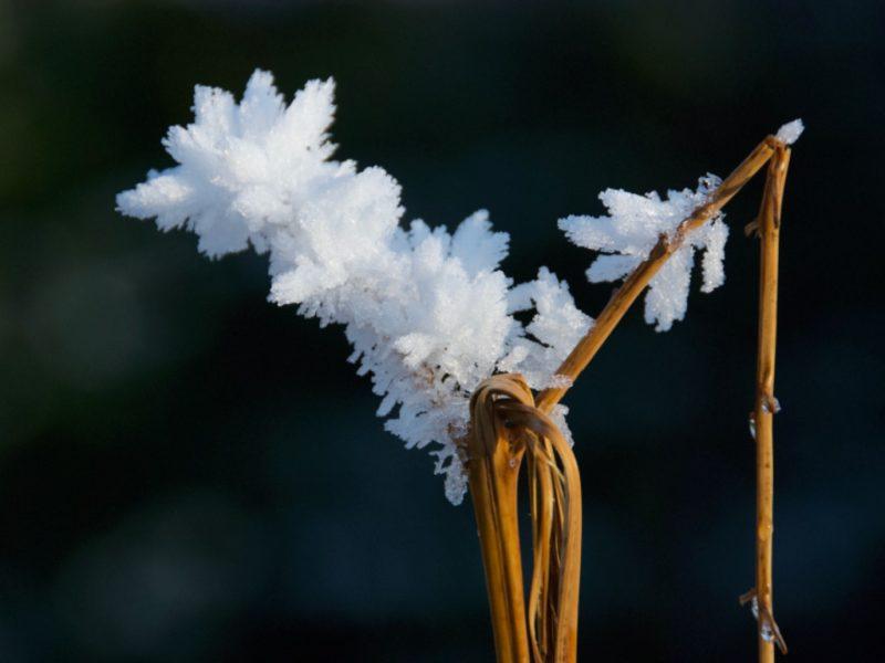 Hoar frost on winter bracken stem