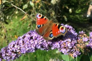 Peacock butterfly on purple buddleia bush