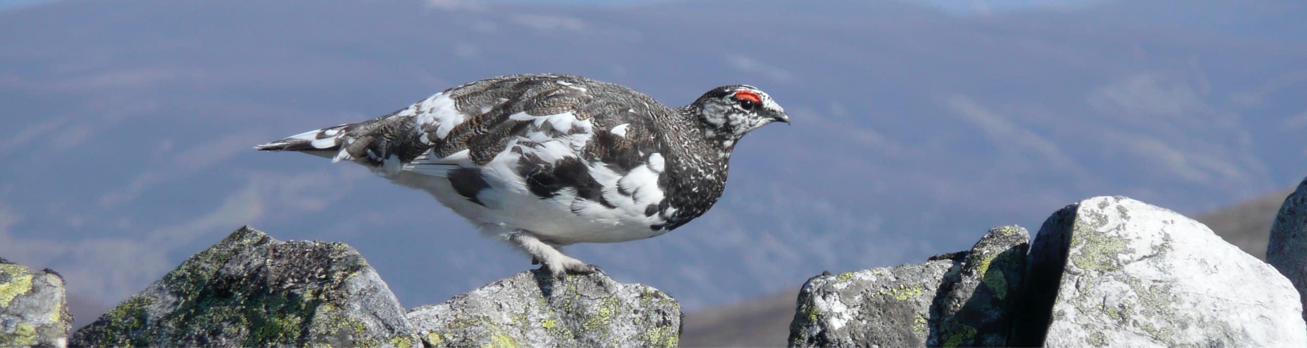 Male ptarmigan in winter plumage in Glenisla