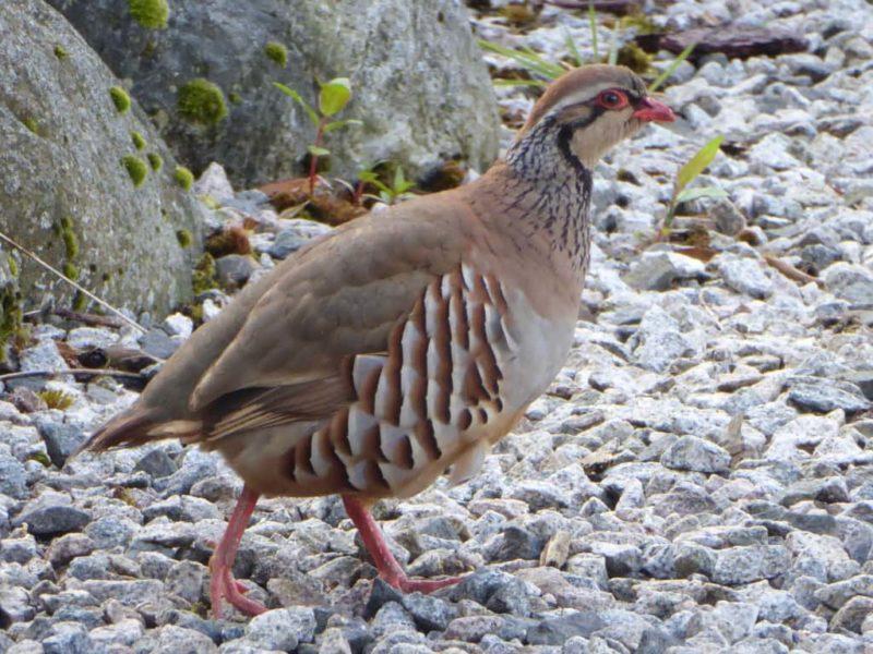 Red-legged partridge in garden