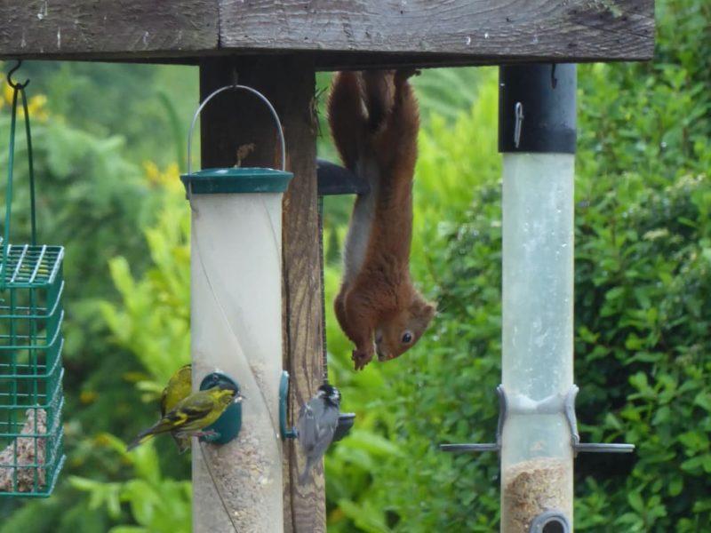 Red squirrel hanging around the bird feeders
