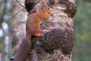 Red squirrel on silver birch tree