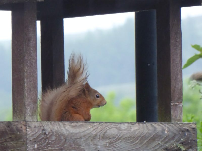 Red squirrel on the bird table