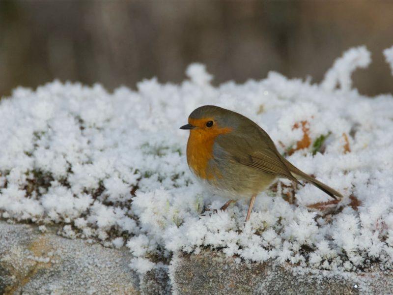 Robin on frosty wall