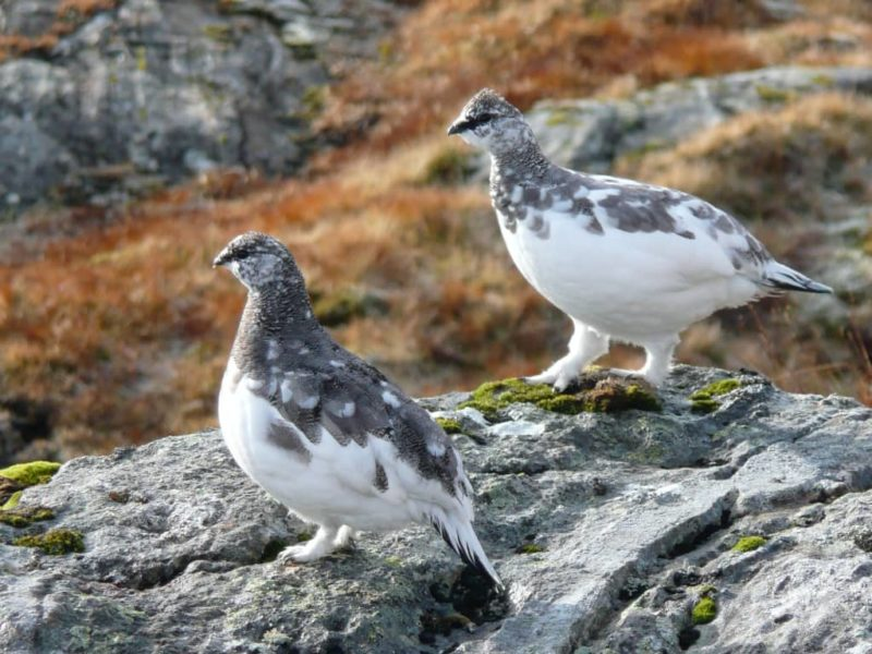 Two male ptarmigan transitioning into winter plumage